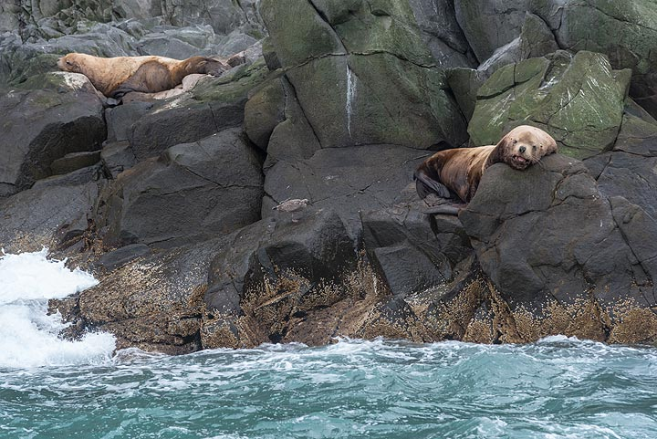 Sea lions resting on old lava rocks.