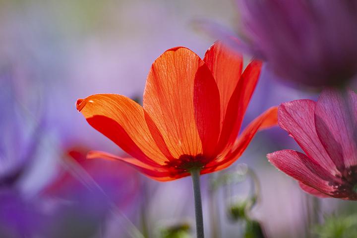 Im März blühen in Tälern Methanas verschiedenfarbige Anemonen.