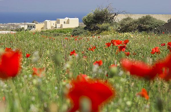 Rote Mohnblumen auf Santorini. Felder im Frühling