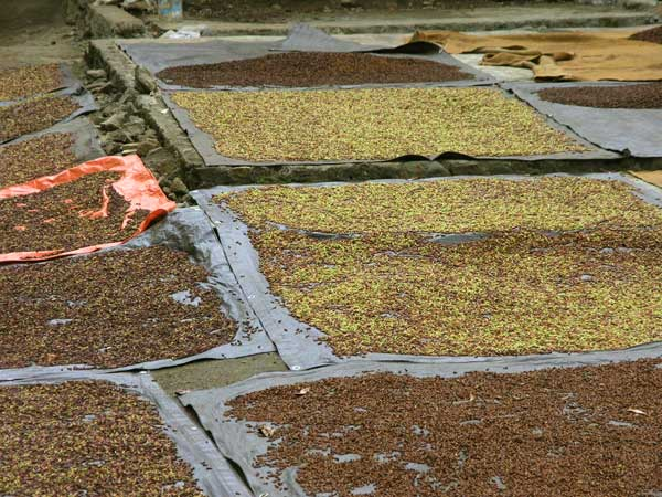 Cloves laid out for drying - one of North Sulawesi's main products