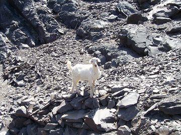 Chèvre sur Palea Kameni