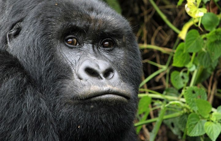 Portrait of a mountain gorilla (image: Jay Ramji)