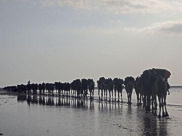 Camel caravans on the salt lake